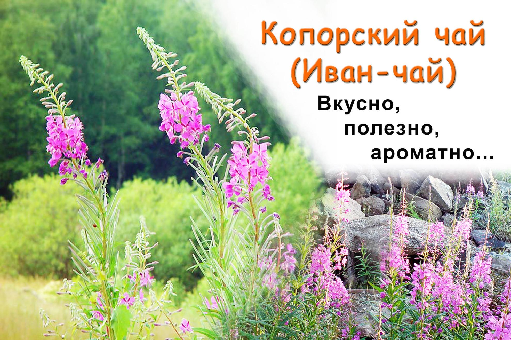 Иван-чай на открытках фото