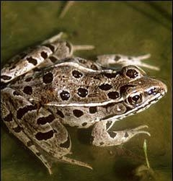 leopard frogs unlike their distant cousins prefer denser terrestrial vegetation
