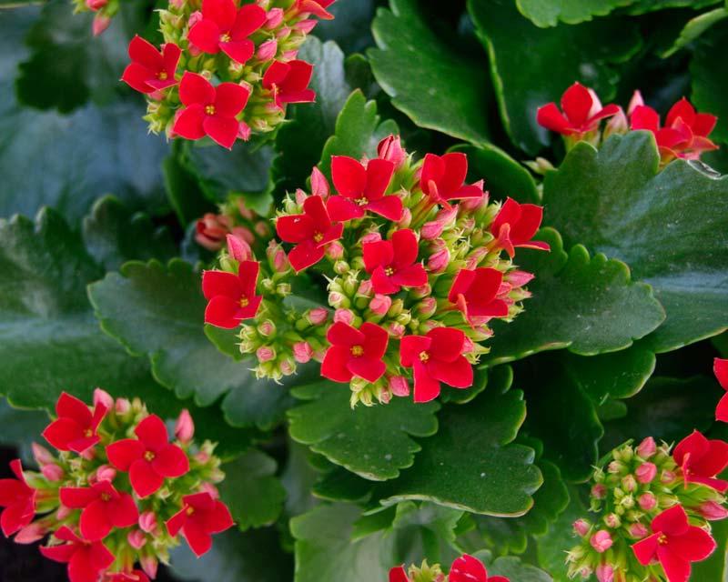 Комнатные цветы каланхоэ и уход