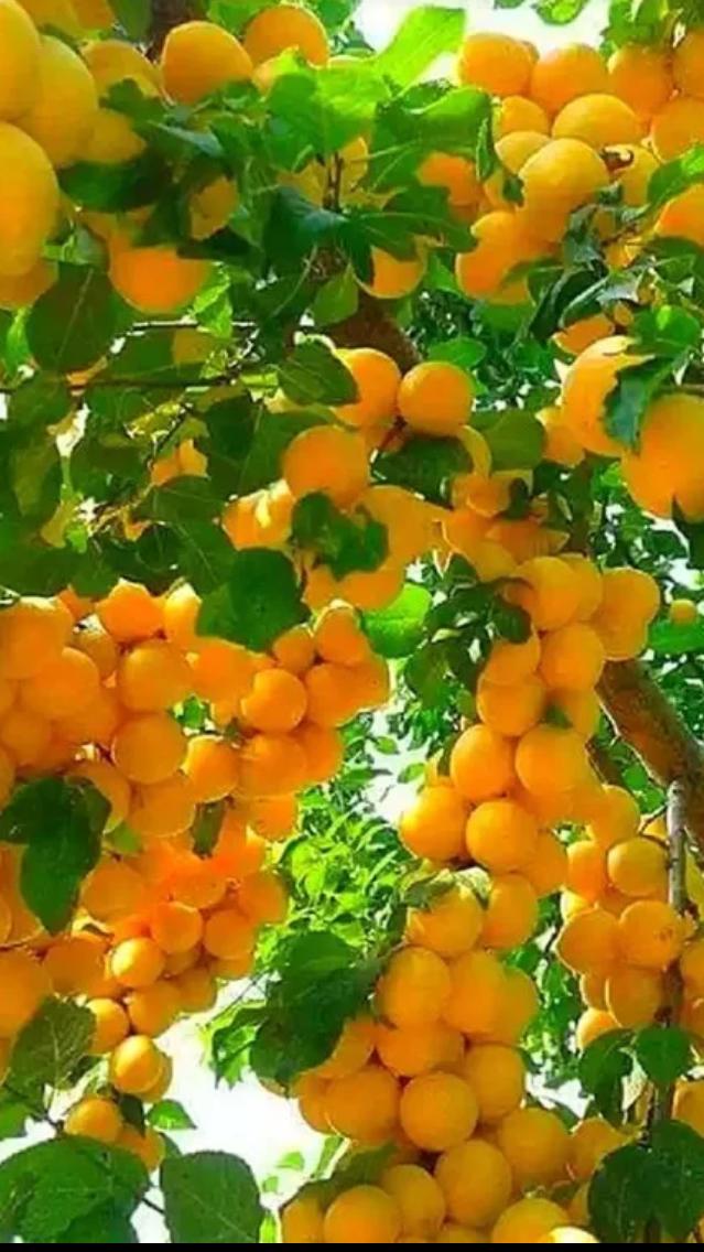 алсу абрикосовый рай картинки как