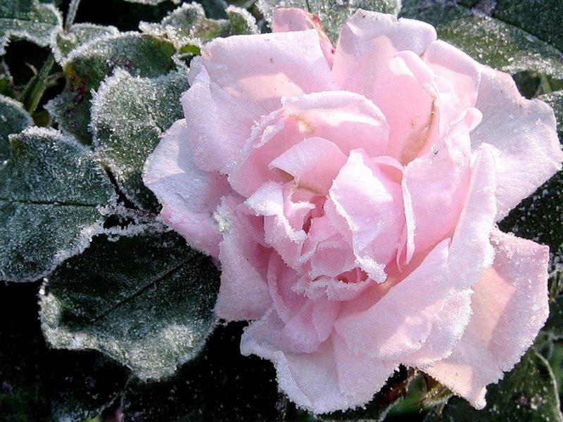 Розовые розы на снегу фото