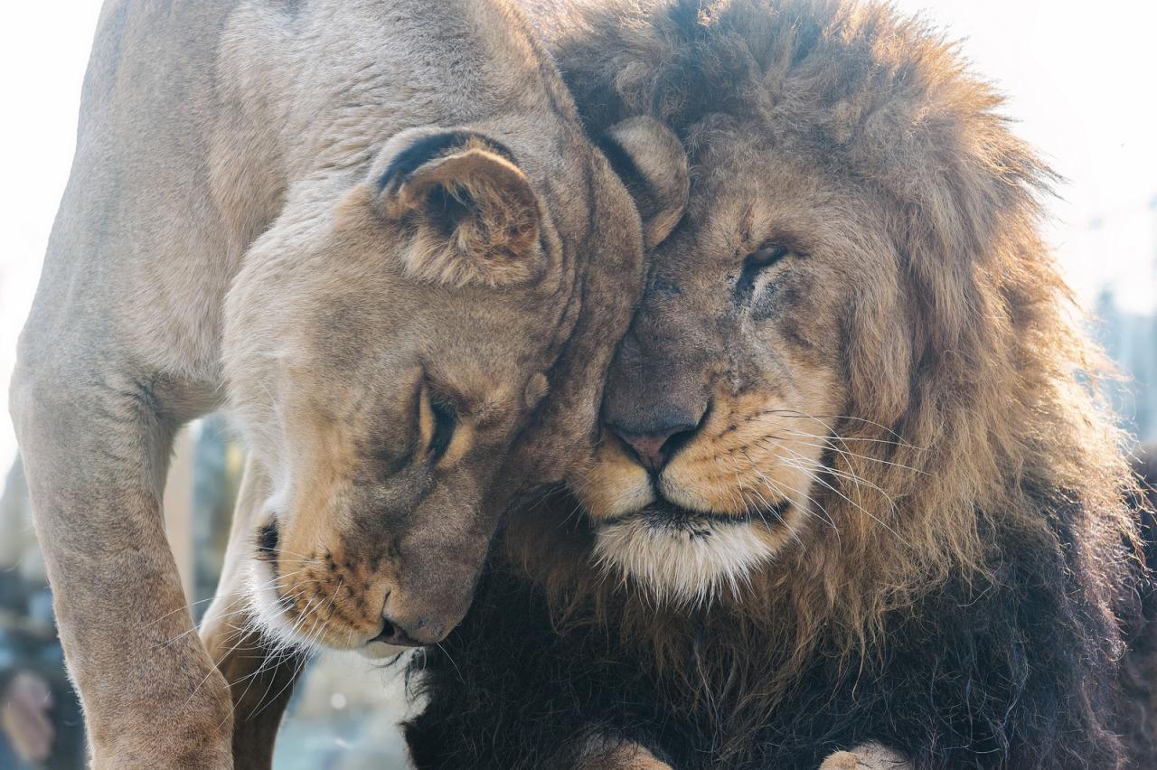 ты, мама, красивая пара львов картинки в хорошем качестве темница