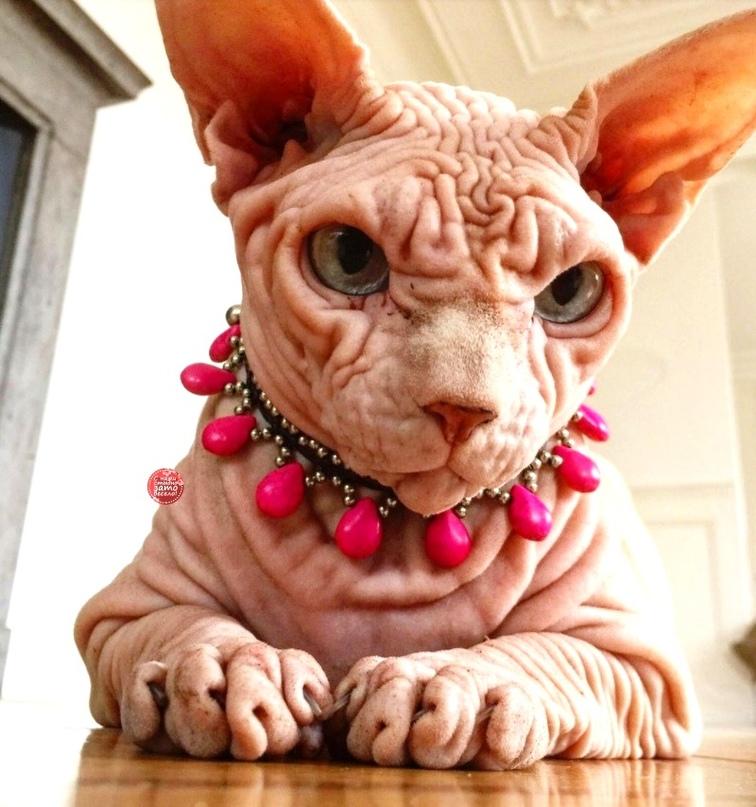 Смешные породы кошек картинки