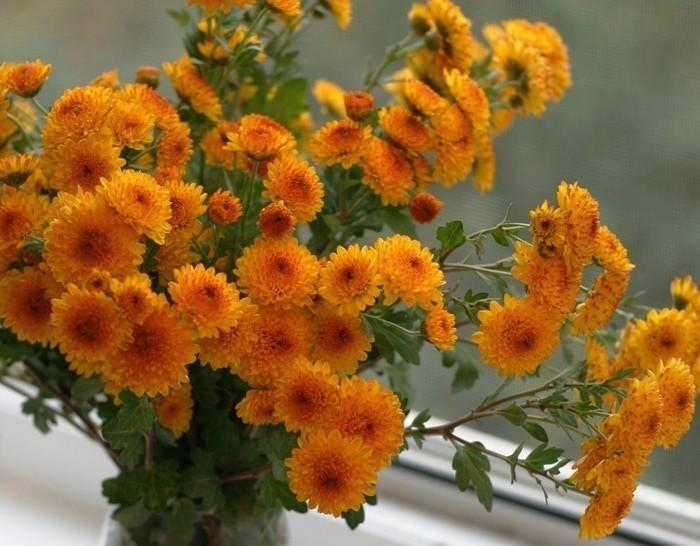 Рисунок для, открытка доброе утро с хризантемами