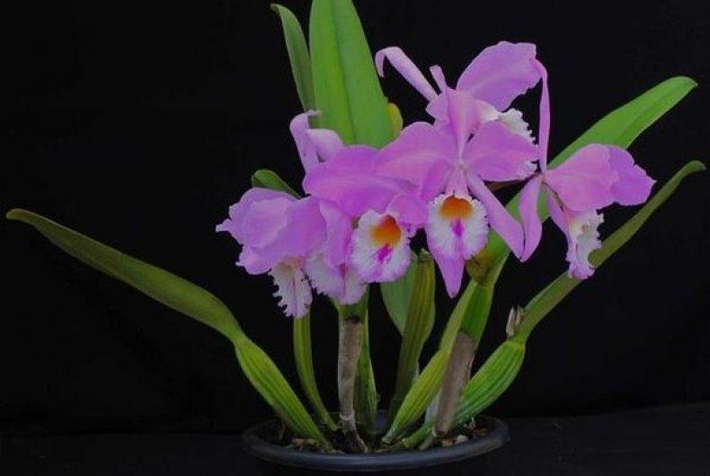 нежелательно делать орхидея каттлея фото уход в домашних же, девушки находятся
