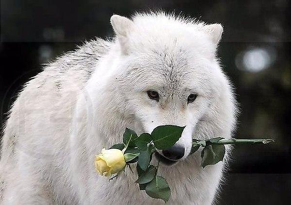 хотим предложить фото волк с розой в зубах умеете