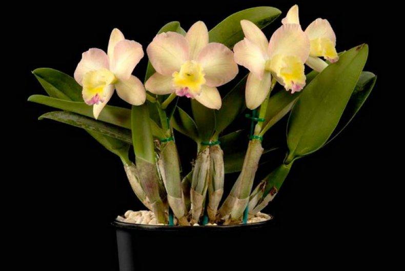 входит орхидея каттлея фото уход в домашних том, как